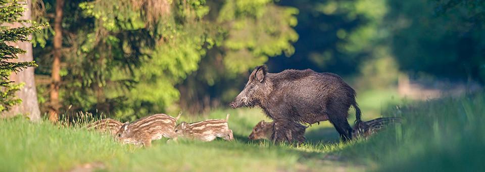 Leitbache mit Frischlingen im Wald