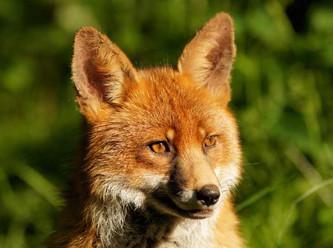 Fuchsjagd ist nicht mehr als die Befriedigung eines perversen Hobbys