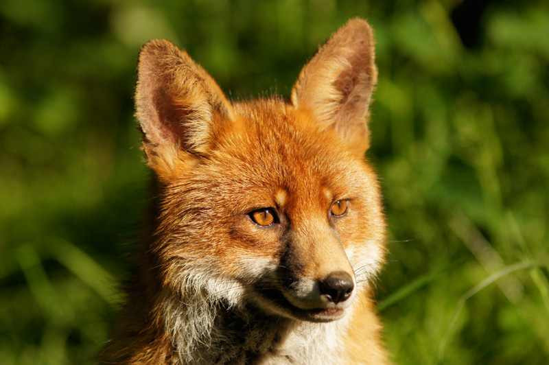 Füchse sind für Jäger nicht mehr als eine sich bewegende Zielscheibe