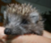 Igel in der Pflegestation