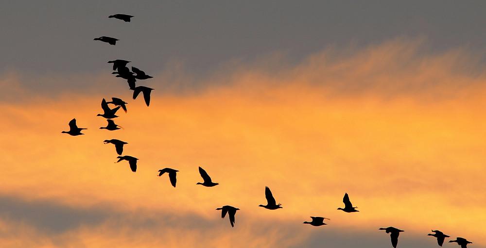 wegen Jagdverbot in Genf: niemals so eine Vielfalt an Enten