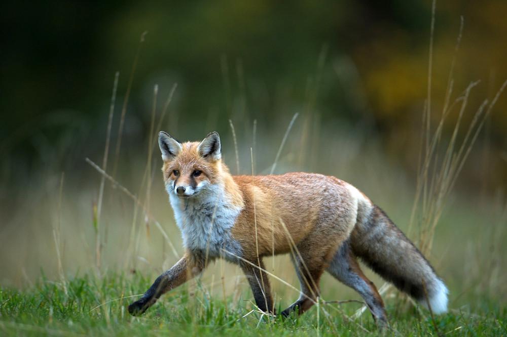Stolzer Fuchsrüde