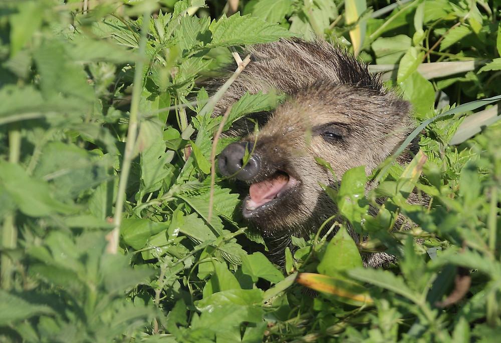 Junges Wildschwein im Dickicht
