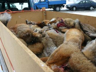Fellwechsel: Kommerzielle Fellverwertung der Jagdverbände floppt