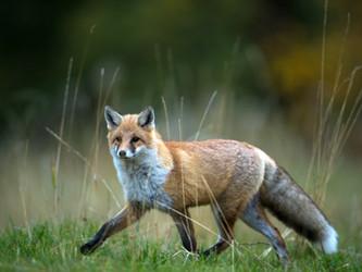 Und immer lockt der Fuchs - ein kalendarischer Jagdeinblick