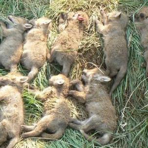 Betr.: Fuchsjagd, hier: Sind Jäger Tierquäler?