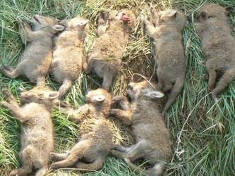 Fuchsjagd, hier: Sind Jäger Tierquäler?