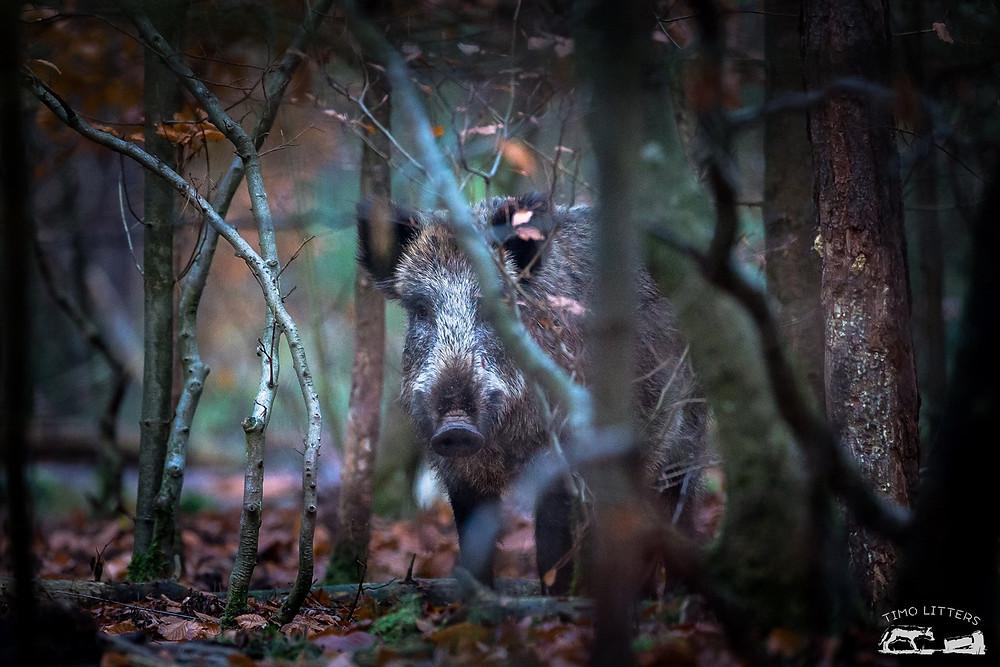 Ein kräftiger Keiler im Unterholz