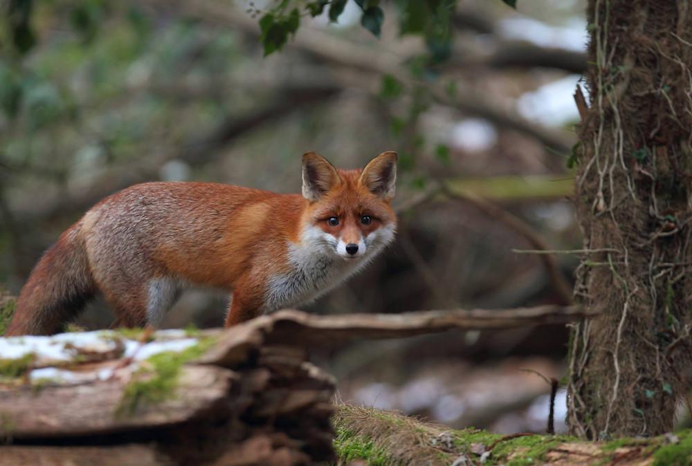 In Luxemburg trotz Jagdverbot nicht mehr Füchse