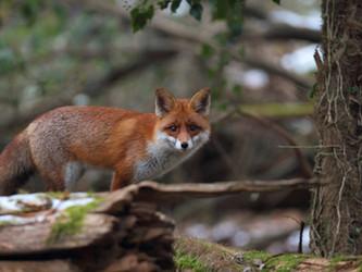 Paarungszeit der Füchse - Hoch-Zeit für Jäger