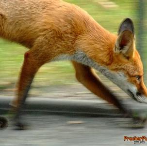 Verhaltensauffälliger Fuchs? Ein Leitfaden, nicht nur für die Polizei