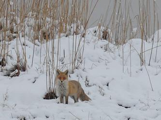 Kahlgrund: Feuer frei – auf die Fuchseltern!