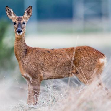 Ricke, aufmerksam - Jagen ist kein Naturschutz