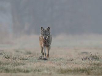 Wolfsverordnung in Niedersachsen