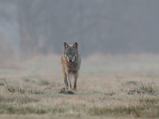 Wolfsverordnung Niedersachsen ist rechtlich umstritten