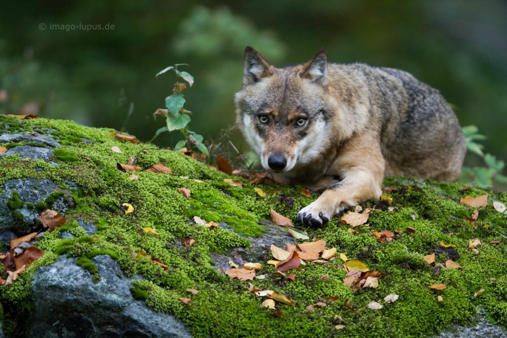 Wolf auf moosbewachsenem Felsen