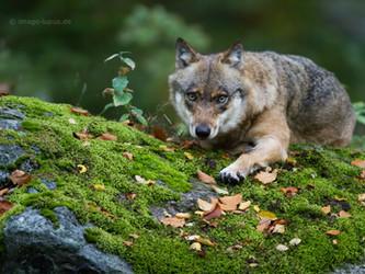 Niedersachsen: Mehr Wölfe - weniger Schäden