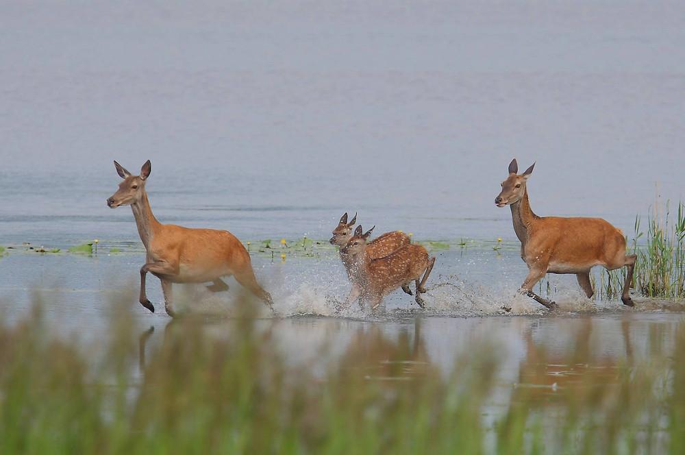 Hirschkühe mit Kitzen laufen durch seichtes Wasser