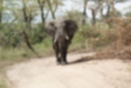 Elephant at Serengeti