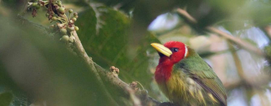 red headed barbet 2.jpg