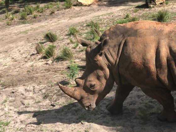Rhino Walkb