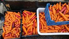 Belle récolte de carottes du jardin