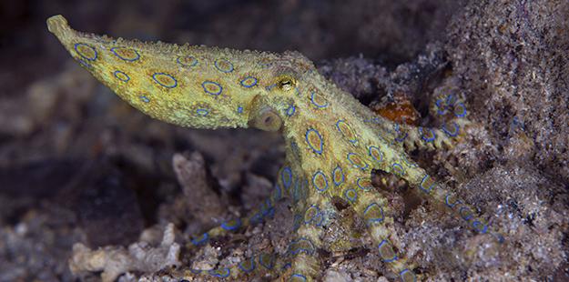 Blue-ringed-octopus_Pelagian-_Nigel-Wade