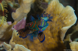 Mandarin-Fish-Aurora-Liveaboard