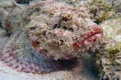 scorpianfish2