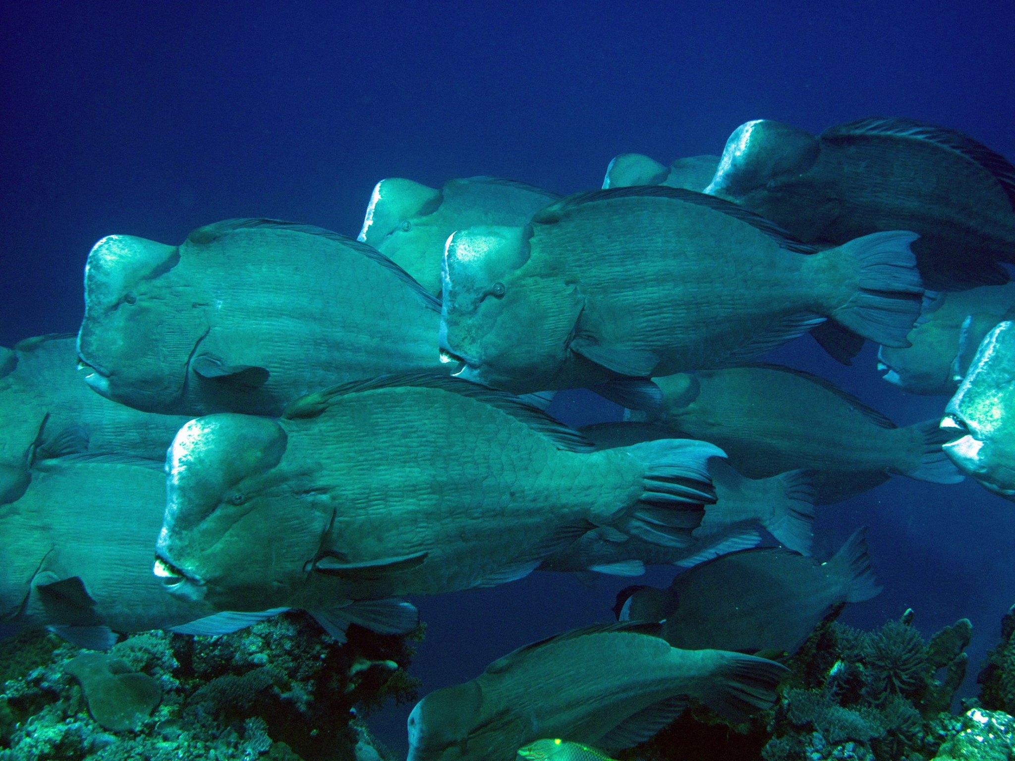 Bumphead Parrotfish Lynn