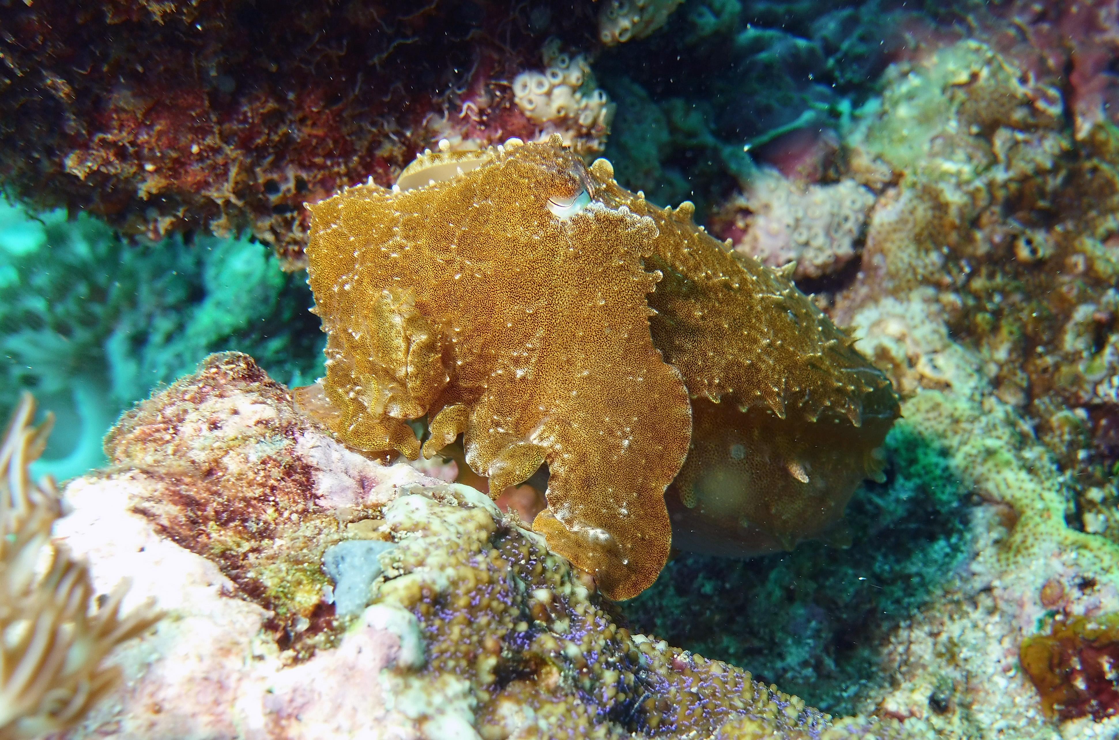 Lee Cuttlefish