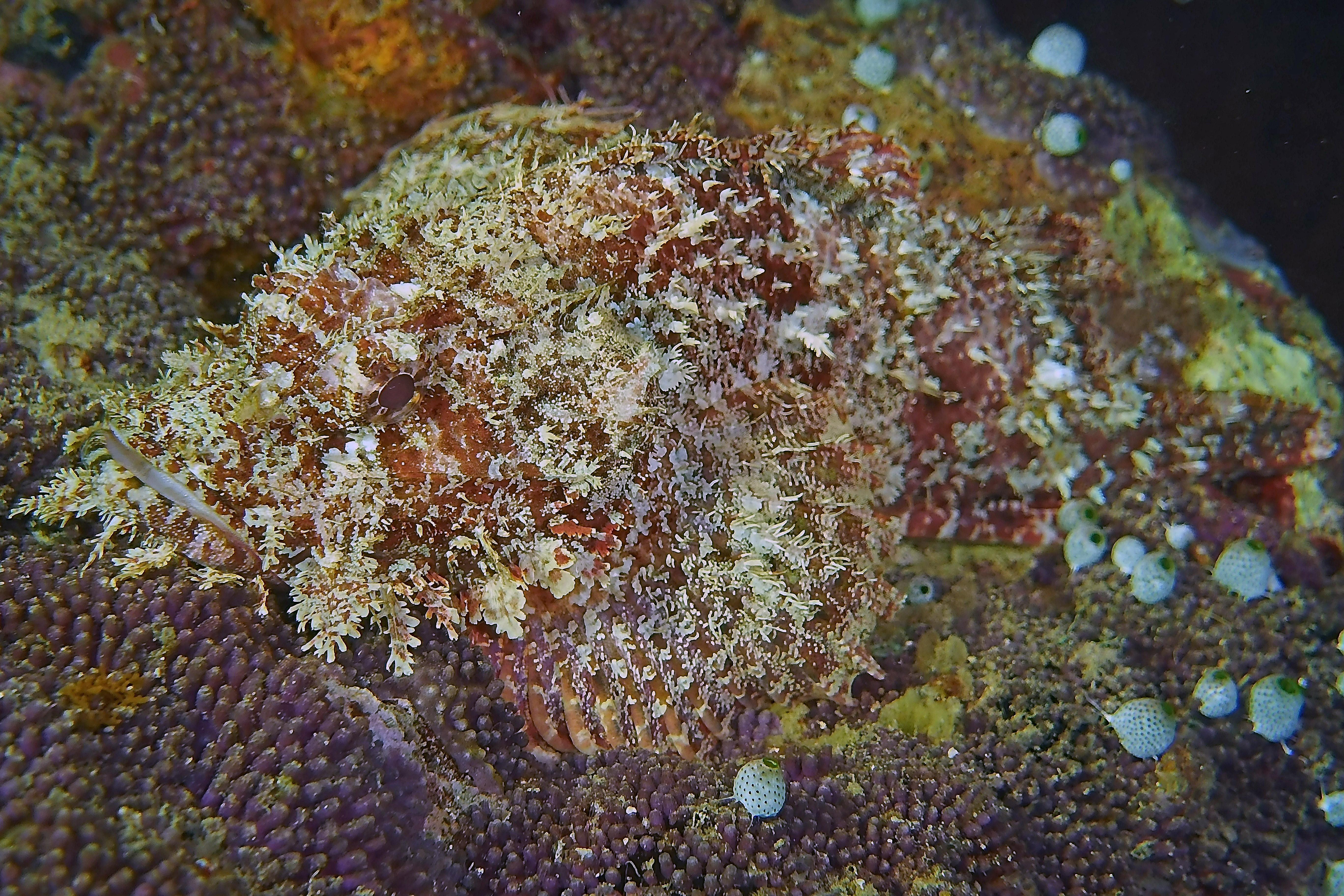 scorpianfish3