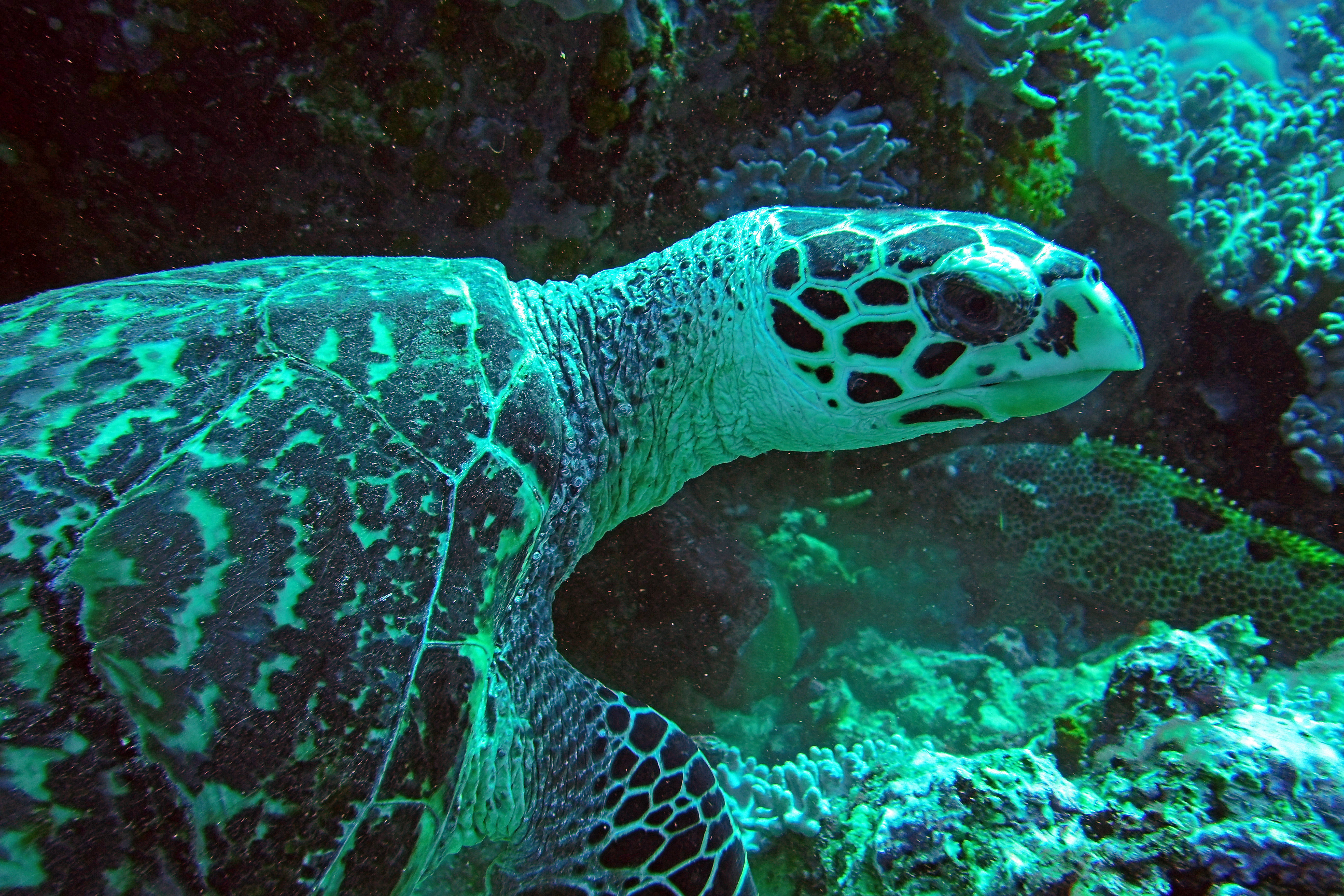 Lee Turtle
