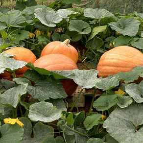 JE RECOLTE MES COURGES