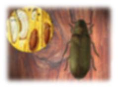 Ovo, larva e pupa da broca