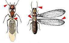 Diferença física entre formiga e cupim