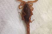 Escorpião amarelo