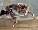 morcego - Desmodus rotundus