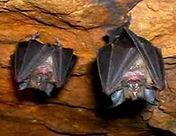 Morcegos de ponta cabeça