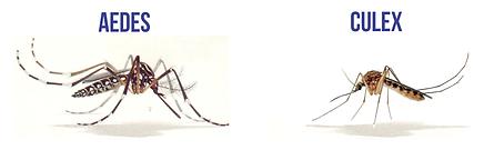 Diferença_entre_Aedes_e_Culex.png