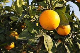 oranges on tree.jpg