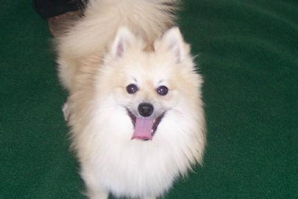 pomsky puppies for sale in southeast KS.