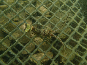 Juvenile Spiny Lobster