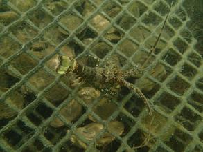 Juvenile Spiny Lobster