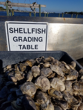 Oyster Grading