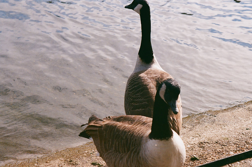 The Glorious Geese