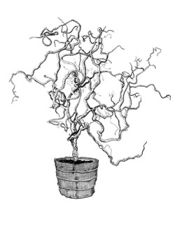 Corkscrew Hazel Tree