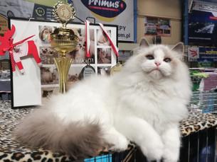 Międzynarodowa wystawa kotów w SCC Łódż Bugatti Kaszmirowy Dotyk*PL     Best in Show!!
