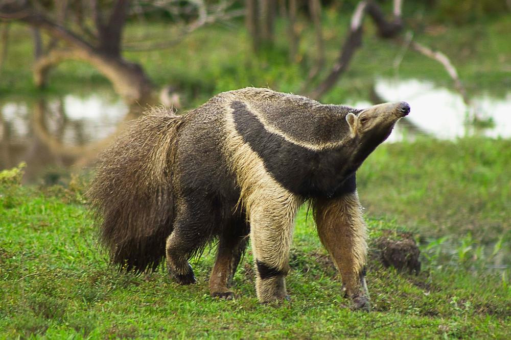 La conservación de muchas especies, como el oso palmero, depende de nuestra capacidad de planificar el desarrollo de los territorios.