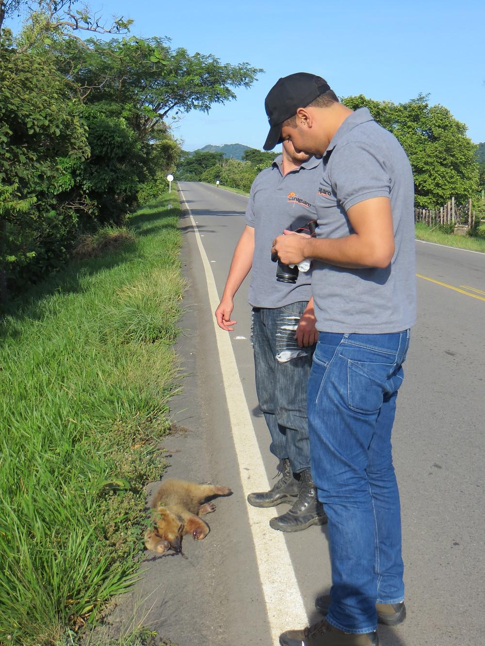 Equipo Cunaguaro registrando un oso melero en la vía Marginal de la Selva, Casanare.